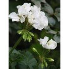 Jo Malone Decant 5ml buy jo malone geranium verbvena cologne rock the ages