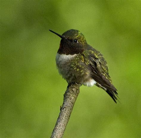 hummingbird in the woods my chicago botanic garden