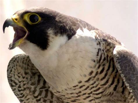 falcon wallpaper and background animals town