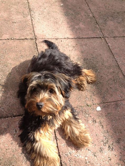 black yorkie puppy breed black pedigree terrier northolt middlesex pets4homes