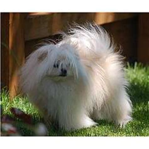 maltipom puppies for sale malti pom maltipom puppies for sale from reputable breeders