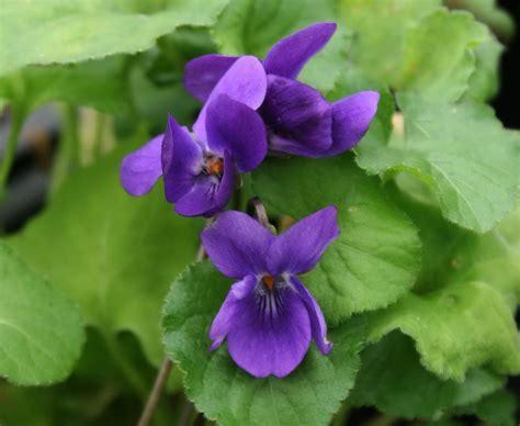 foto di fiori viole le viole consigli sulla coltivazione e vivai priola