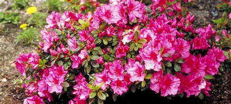 buy flowering shrubs 301 moved permanently