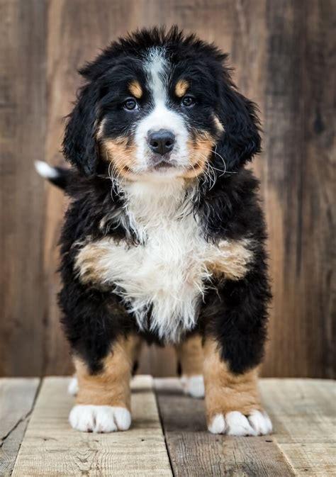 bernedoodle dog breed information facts temperament