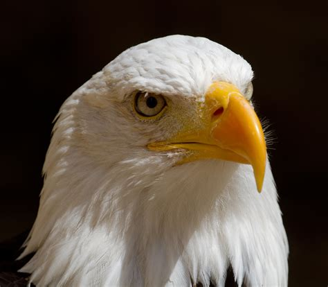 Eagle Head Images - Reverse Search