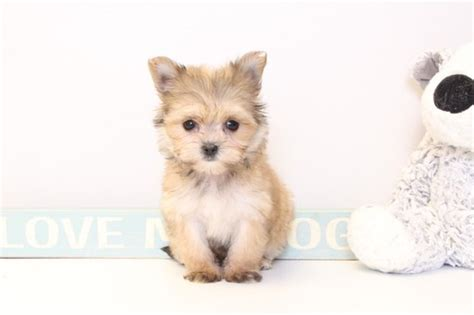 puppies for sale naples fl view ad morkie puppy for sale florida naples usa