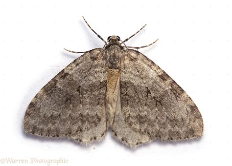 Moths In House Meaning by November Moth Photo Wp13851