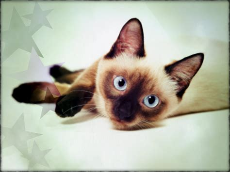 images cats siamese cats images siamese hd wallpaper and