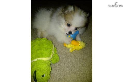 pomeranian puppies for sale in philadelphia parti color pomeranian pomeranian puppy for sale near philadelphia