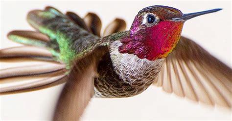photographer captures close ups  hummingbirds beauty