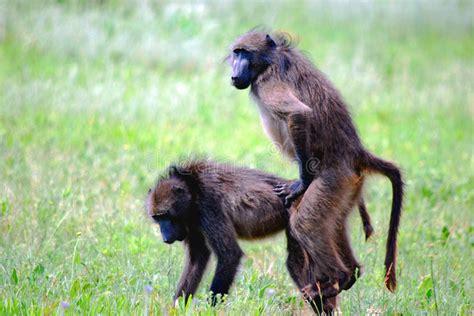 alimentazione scimmie babbuini accoppiamento immagine stock immagine di