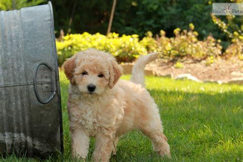 labradoodle puppies for sale near me labradoodle puppy for sale near lancaster pennsylvania c5163c28 ff61