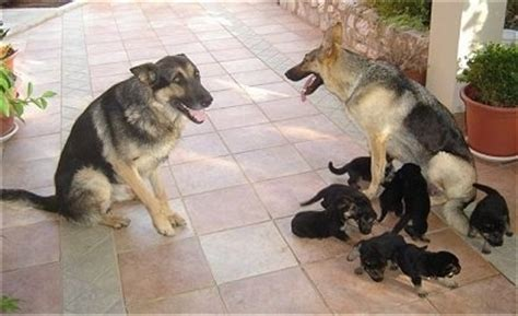 are german shepherds family dogs german shepherd breed information and pictures