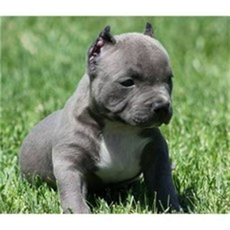 teacup pitbull puppies smallest pitbull breed free photos