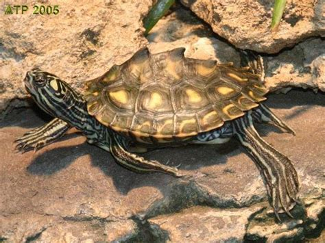 louisiana map turtle louisiana map turtle 28 images sabine map turtle