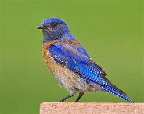 golden gate audubon societybluebirds in berkeley again