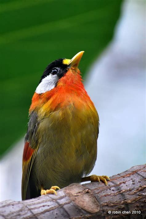 the silver eared mesia leiothrix argentauris is a