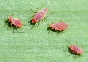Insect Garden Pests - vegetable garden pests identification