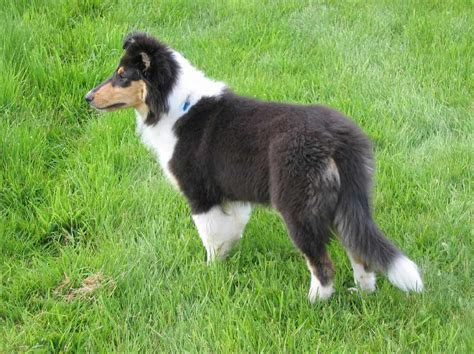 scotch collie puppies scotch collie breed 187 information pictures more