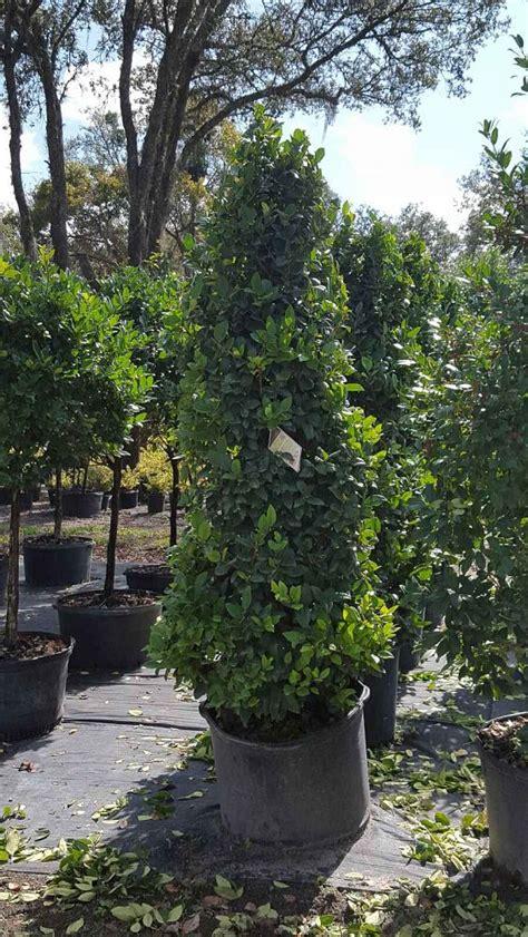 ligustrum topiary trees jsd nursery and landscape plantant