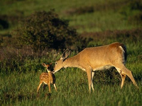 scogliattolo volante the difference between mule and whitetail deer windmill 12