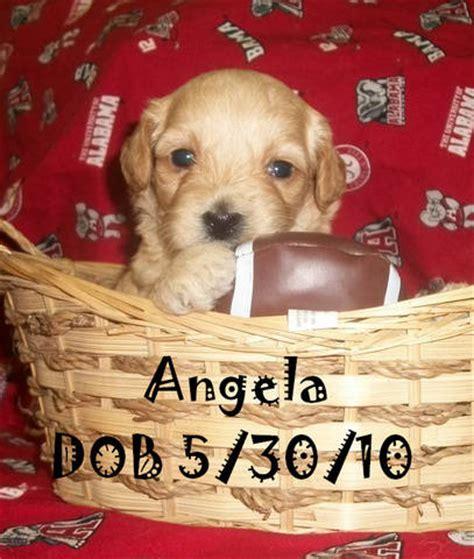 puppies for sale in tuscaloosa al cockapoo puppies for sale for sale adoption from tuscaloosa alabama adpost