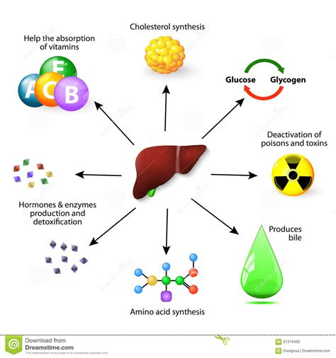 protein z function liver functions stock vector illustration of deactivation