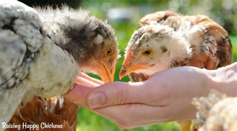what do backyard chickens eat what should chickens eat to keep healthy and happy