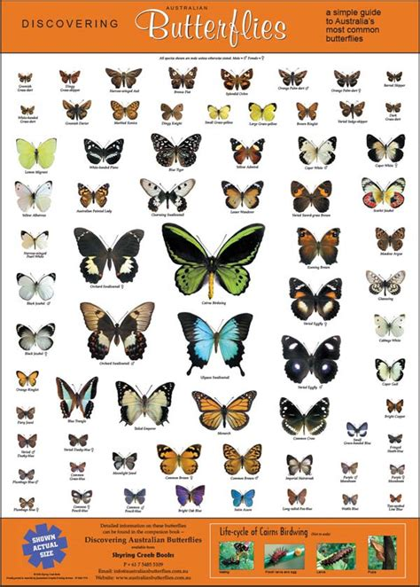 Butterfly Wall Sticker the poster australian butterflies