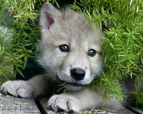 google images wolf baby black wolves google search woles pinterest