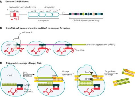 crispr cas the new frontier of genome engineering with crispr cas9