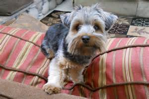 silky terrier hair cut silky terrier haircuts dog breeds picture