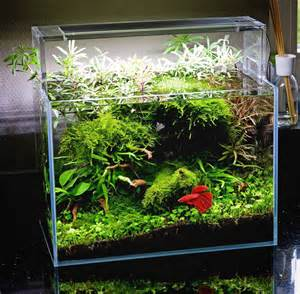 Beautiful planted tank for a Betta with simple plants: Christmas Moos
