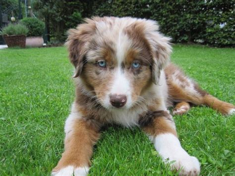 merle australian shepherd puppies merle australian shepherd someday