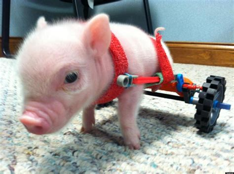 9 Of The Cutest Baby Pigs In The World!