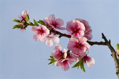 mandorli in fiore sagra mandorlo in fiore sicily food and traditions