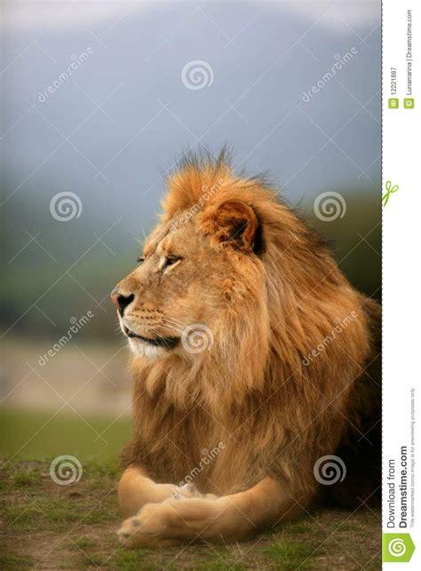 imagenes de leones solitarios beautiful lion wild male animal portrait royalty free