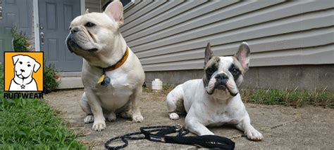 Do Bull Dogs Shed by Do Bulldogs Shed 28 Images European Pedigree Bulldogs