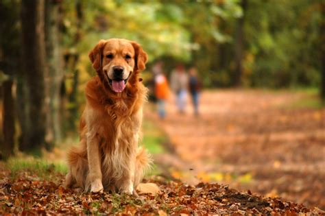 golden retriever sitting free sitting golden retriever stock photo freeimages