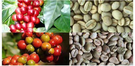 Kopi Robusta Lung 12 robusta vs arabika kopi keliling