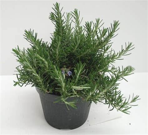 cura rosmarino in vaso oltre 25 fantastiche idee su pianta di rosmarino su