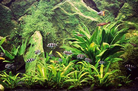 amazon plants fmueller com 187 amazon sword plant echinodorus sp