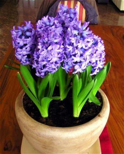 plantas florales de interior plantas florales de interior agujas planta de casa