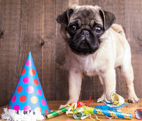 pug puppy birthday happy birthday pug puppy photograph by edward fielding