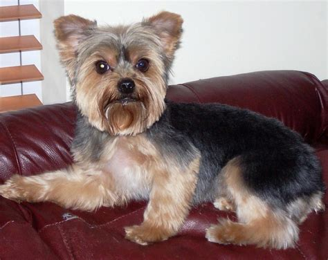 grooming for yorkies grooming yorkie mix haircut breeds picture