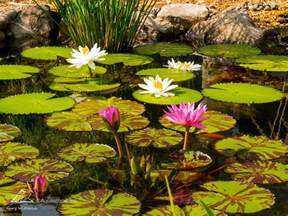 Aquascape Patio Pond Why Choose Tropical Water Lilies