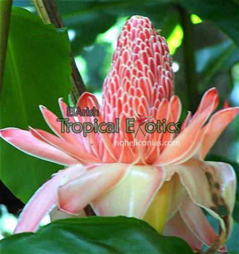 Tropical Edible Plants - el arish tropical exotics lush tropical plants for australia incredible edible tropicals a
