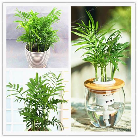 indoor plant seeds popular chamaedorea elegans buy cheap chamaedorea elegans