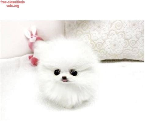 teacup pomeranian for free best 25 free puppies for adoption ideas on puppies to adopt paw patrol