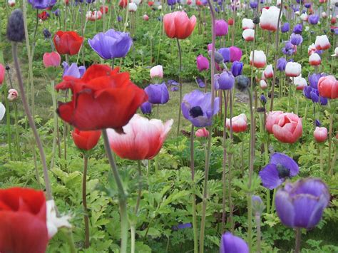 poppy flower field free stock photo public domain pictures